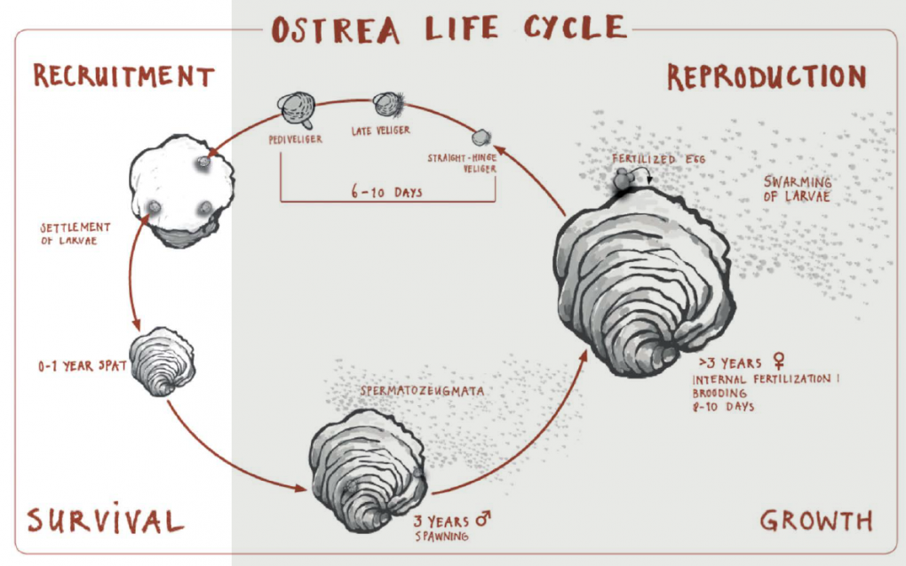 Flat Oyster Reproduction A memo