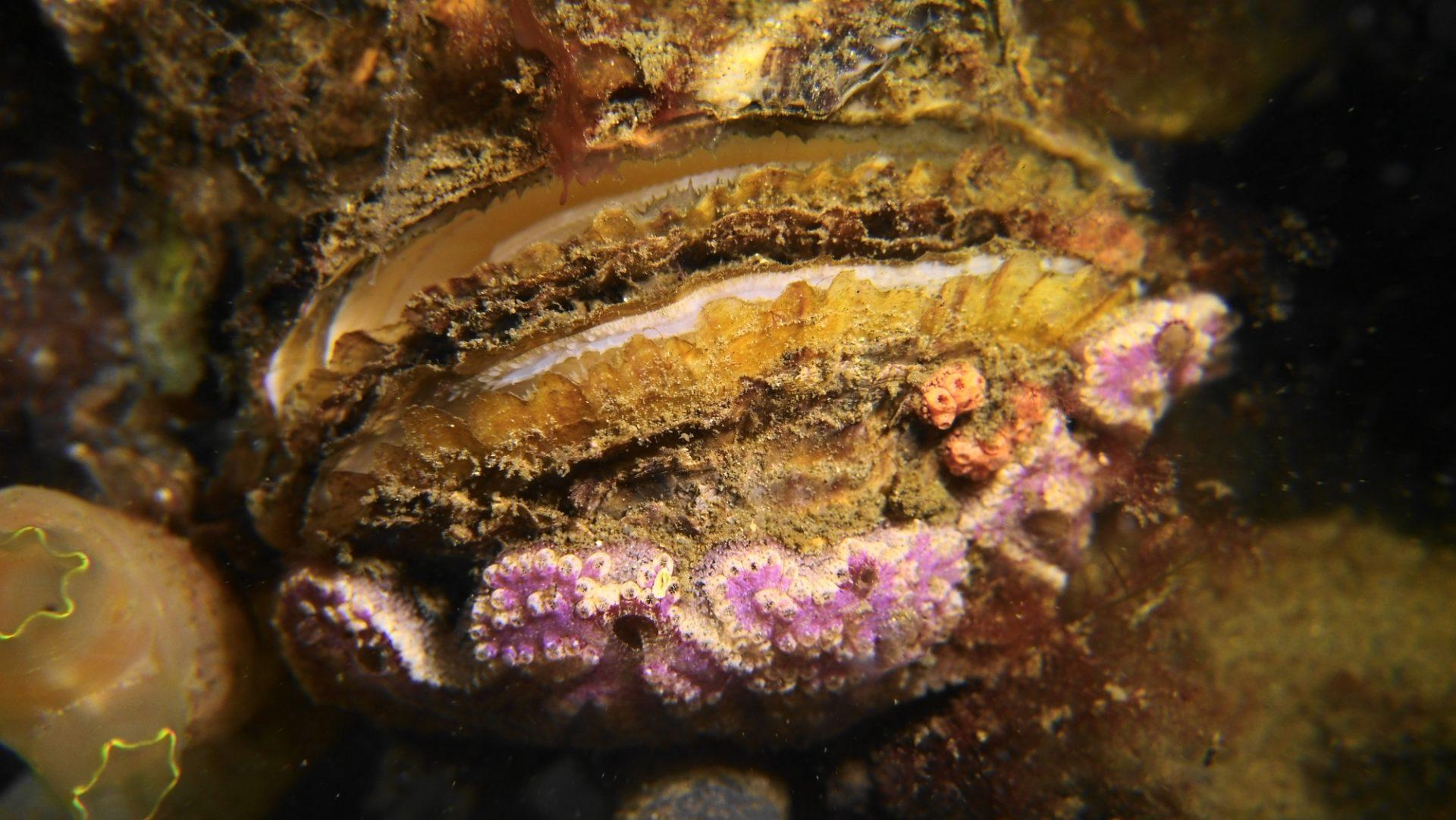 Platte oester Zeeland 7